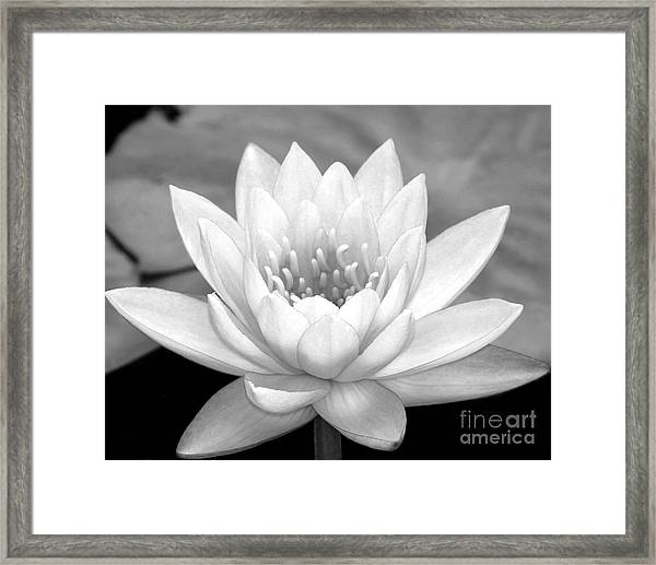Water Lily In Black And White Framed Print