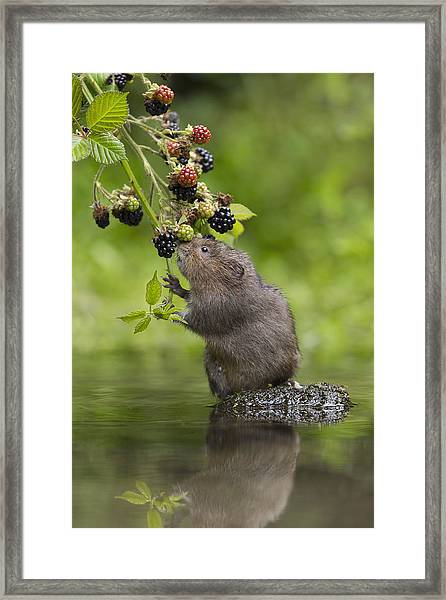 Water Vole Eating Blackberries Kent Uk Framed Print