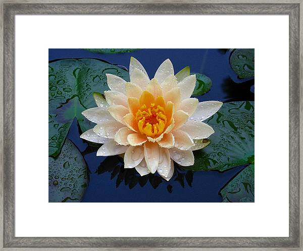 Waterlily After A Shower Framed Print