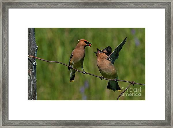 Waxwing Love.. Framed Print