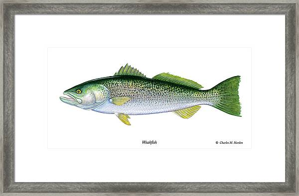 Weakfish Framed Print
