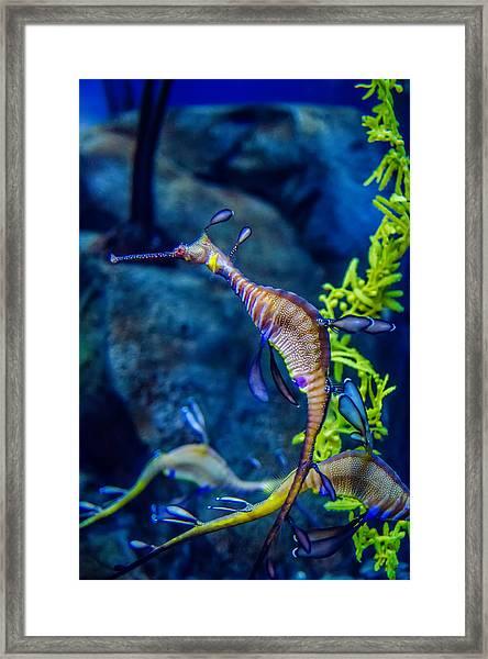 Weedy Seadragon Framed Print
