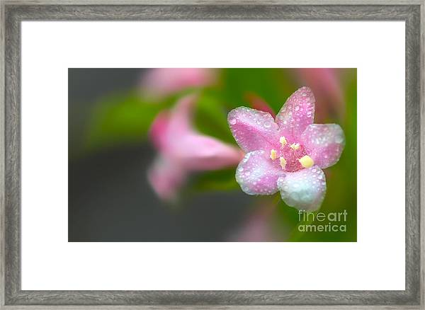Weigela In Spring Framed Print