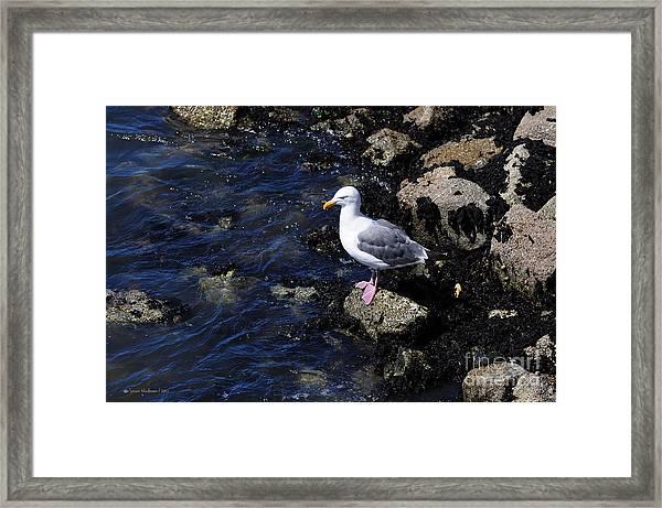 Western Gull On Rocks Framed Print