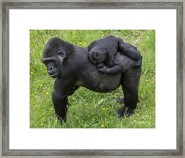 Western Lowland Gorilla 2 Framed Print