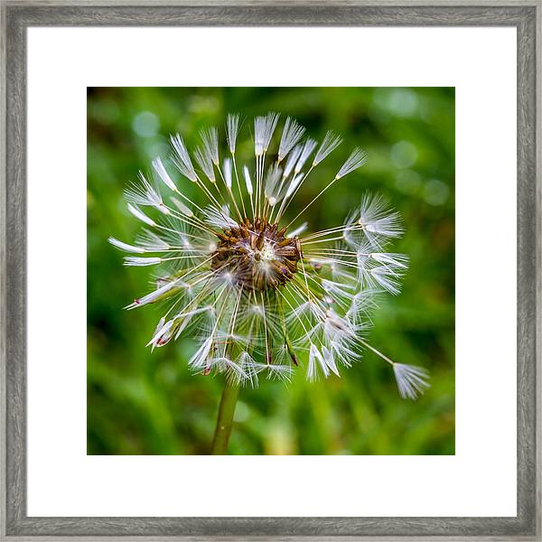 Wet Dandelion. Framed Print