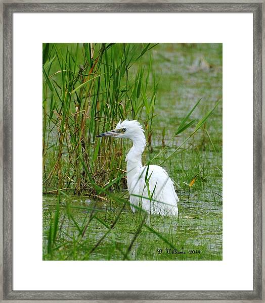 Wet Juvenile Little Blue Heron Framed Print