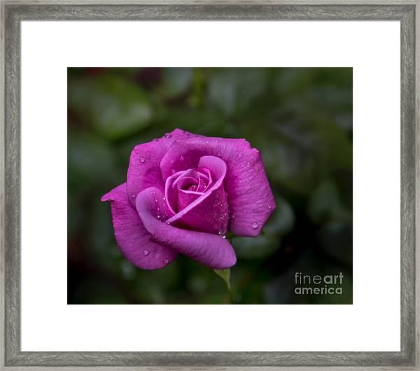 Wet Rose Framed Print
