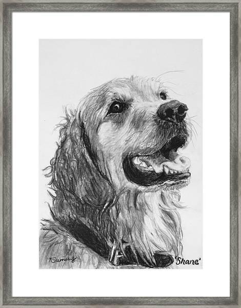 Wet Smiling Golden Retriever Shane Framed Print