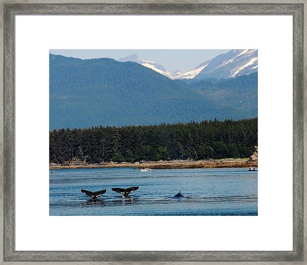 Whales In Alaska Framed Print
