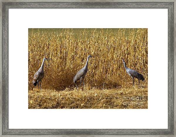 Where Is The Corn Framed Print