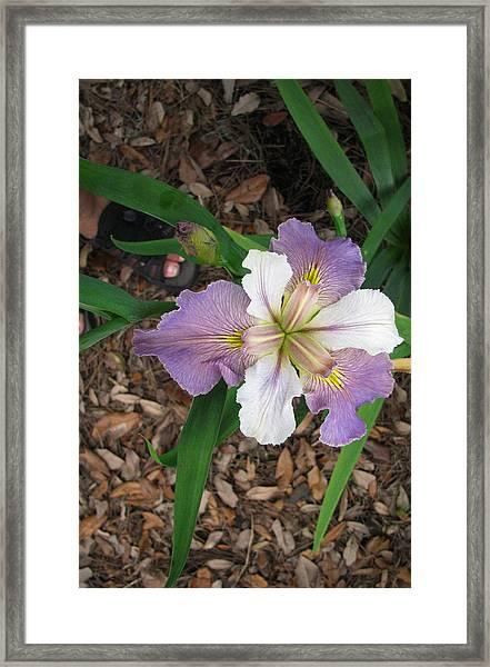 White And Lavender Iris Flower Framed Print by Tom Hefko