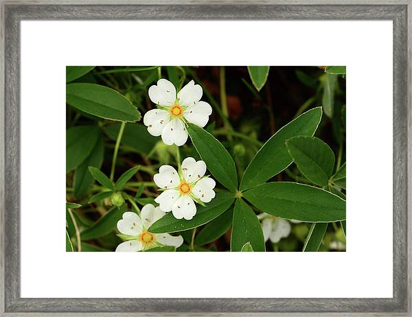 White And Orange Flowers, And Palmate Framed Print