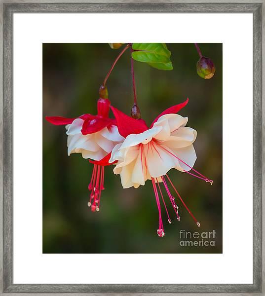 White And Red Fuchsia Framed Print
