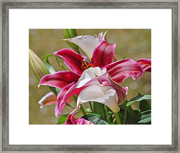White And Red Lilies Framed Print