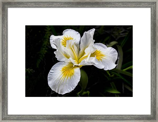 White And Yellow Bearded Iris Framed Print