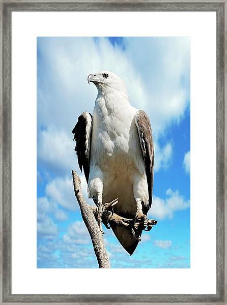 White-bellied Sea Eagle Framed Print by Bildagentur-online/mcphoto-schulz