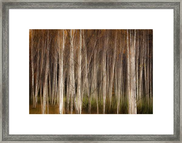 White Birch Abstract Framed Print