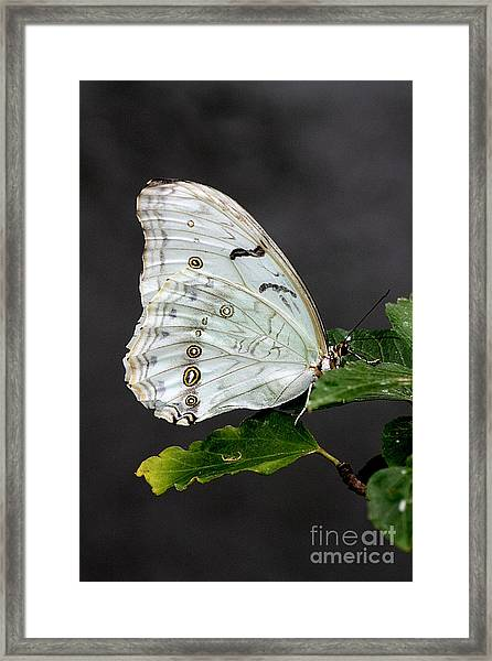 White Butterfly Framed Print