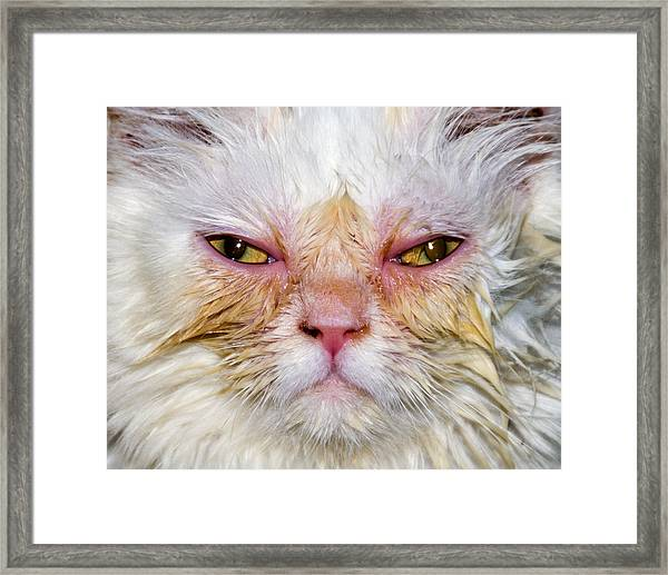 Framed Print featuring the photograph Scary White Cat by Bob Slitzan