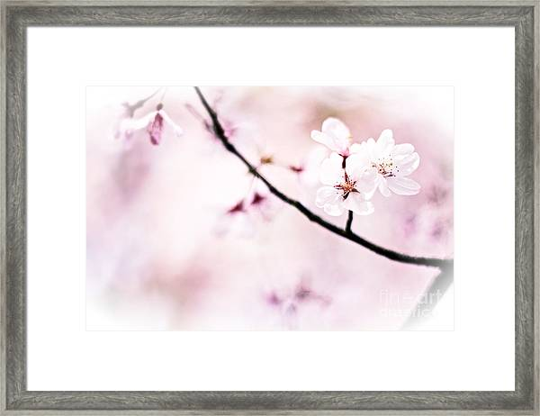 White Cherry Blossoms In The Sunlight Framed Print