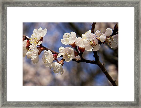 White Cherry Blossoms Framed Print
