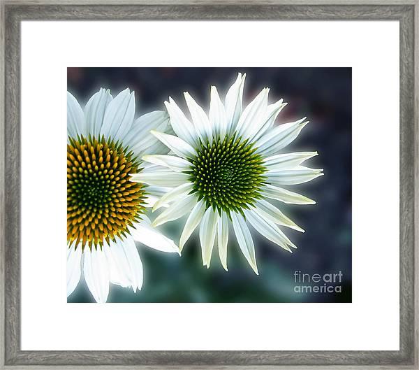 White Conehead Daisy Framed Print