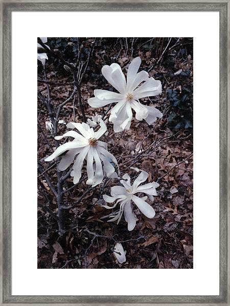 White Magnolia Stellata Framed Print