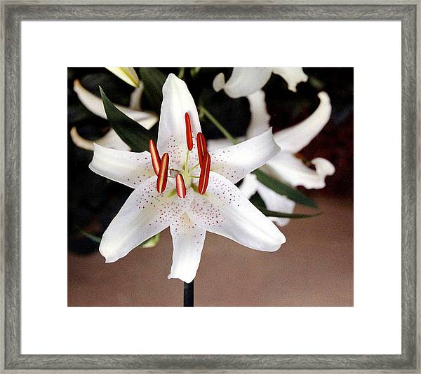 White Oriental Lily Framed Print