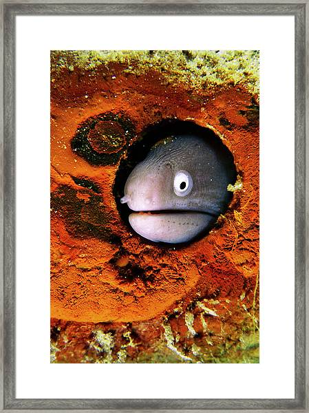 White-eyed Moray Eel Head Framed Print