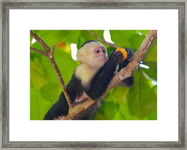 White-faced Capuchin Framed Print by Brian Magnier