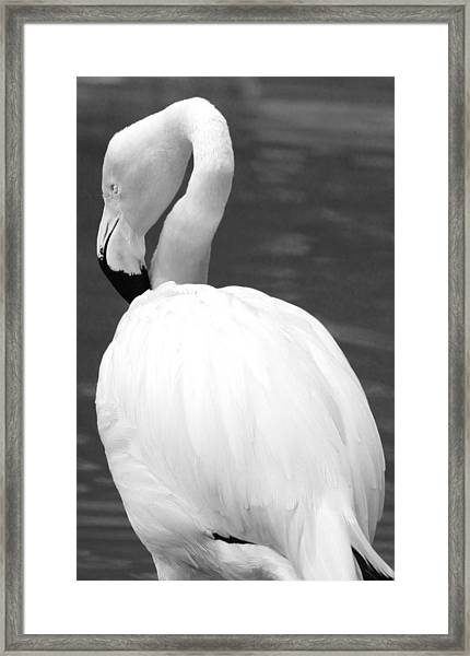 White Flamingo Framed Print