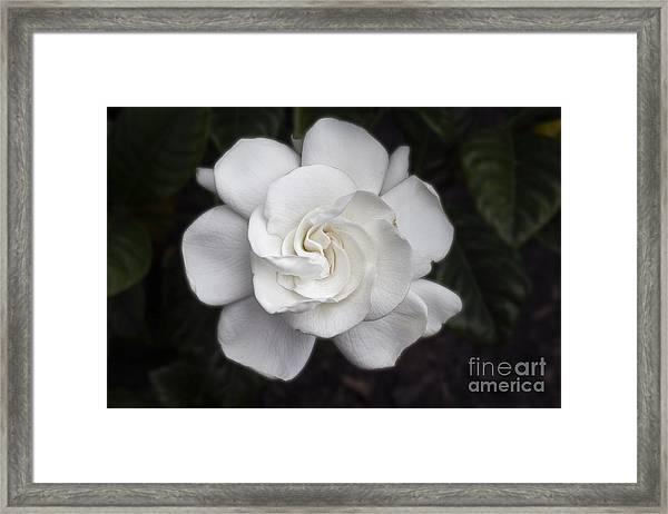 White Gardenia Framed Print