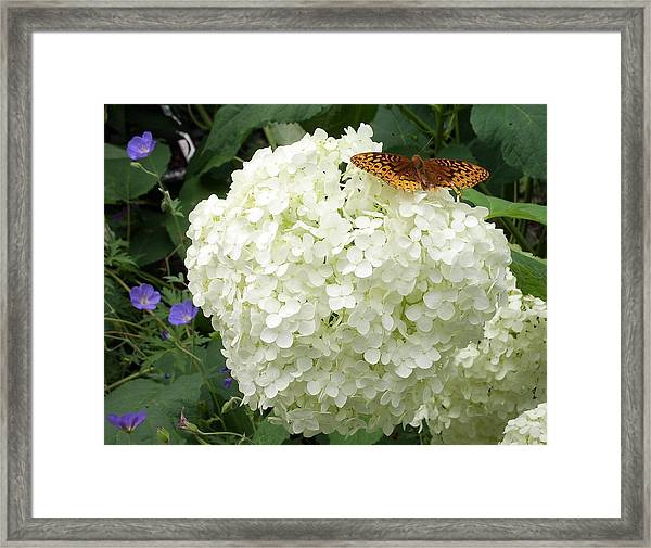 White Hydrangea With Butterfly Framed Print