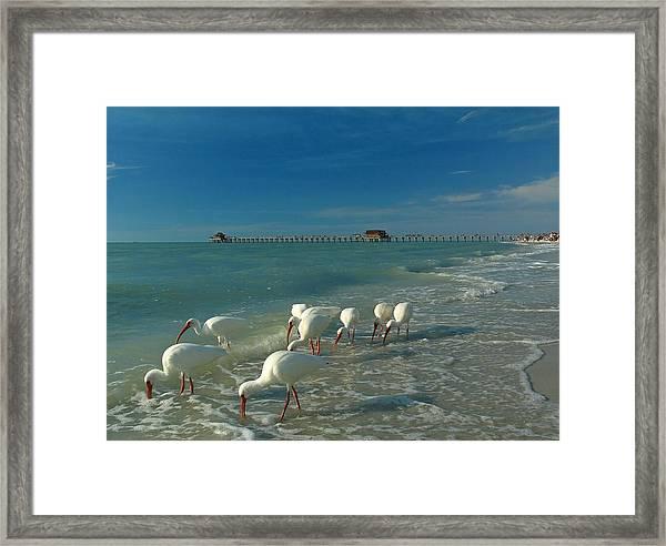 White Ibis Near Historic Naples Pier Framed Print