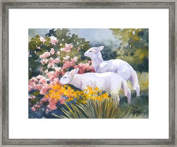 White Lambs In Scotland Framed Print