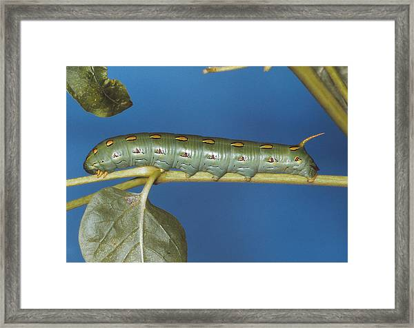 White-lined Sphinx Moth Framed Print by Harry Rogers