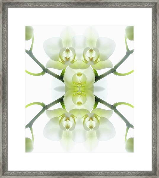 White Orchid With Stems Framed Print by Silvia Otte
