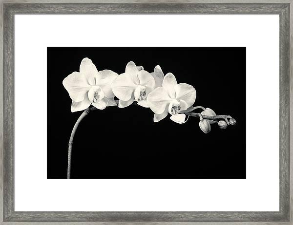 White Orchids Monochrome Framed Print