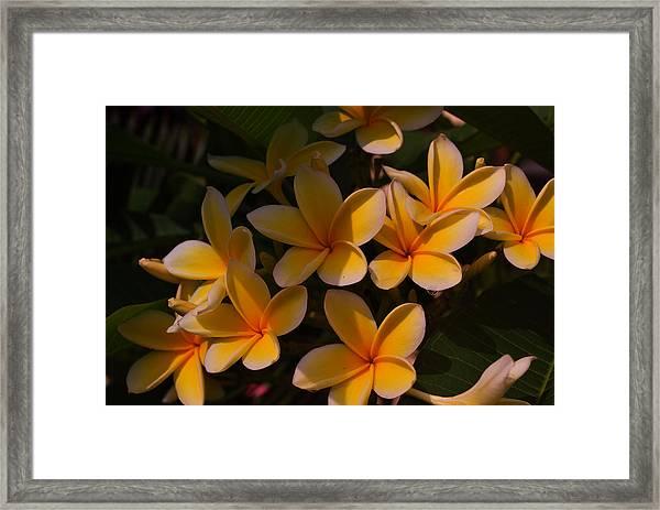 White Plumeria Framed Print