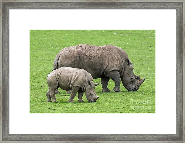 White Rhino 8 Framed Print