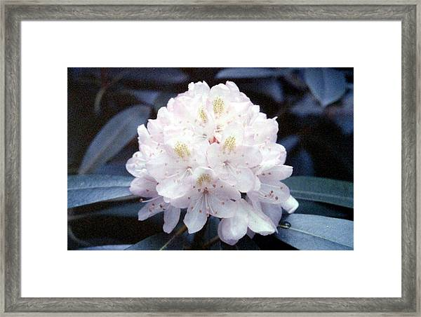 White Rhododendron Framed Print