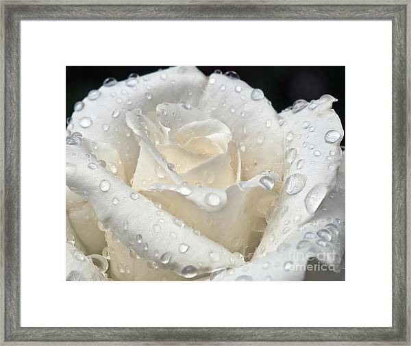 White Rose After The Rain Framed Print