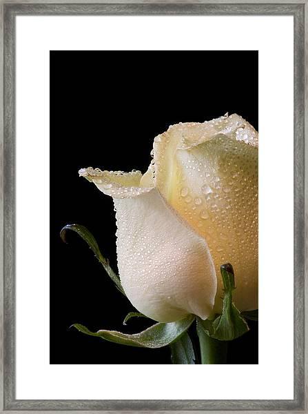 White Rose Close-up Framed Print