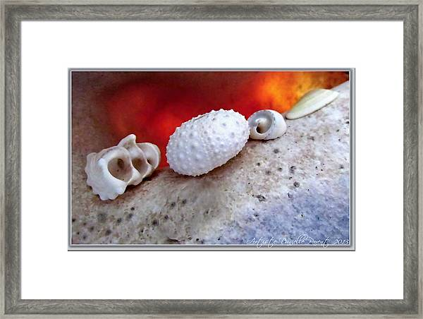 White Seashells And Purple Conch  Framed Print
