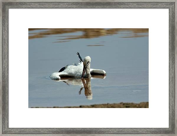 White Stork Drowning In The Dead Sea Framed Print