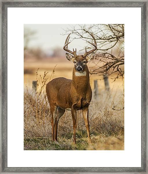 White-tail Buck Framed Print