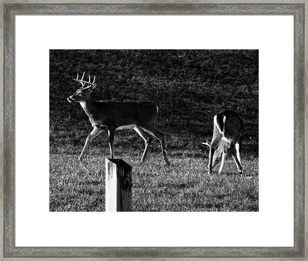 White Tailed Deer Framed Print