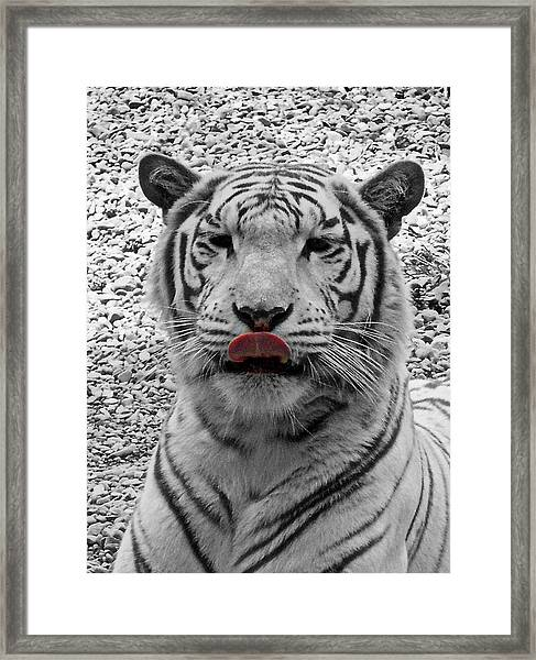 White Tiger Lick Framed Print