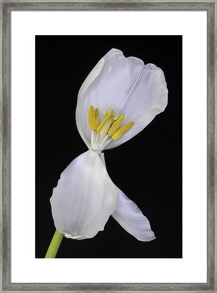 White Tulip On Black Framed Print